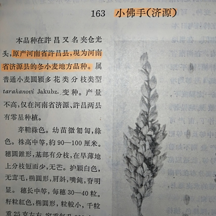 """""""分33"""",据说是西安市农科所李丕皋在上世纪90年代育成的,其也是迄今为止最棒的分枝小麦品种。 - 吕西群 - 吕西群博客"""